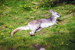 Common wallaroo. (Macropus Robustus Robustus) in Prague zoo royalty free stock photos