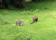 Common wallaroos. (Macropus robustus) feeding on grass royalty free stock photo