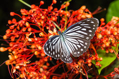 Common Wanderer butterfly Stock Image