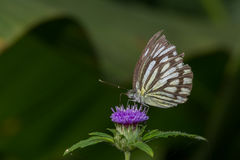 Common Wanderer Butterfly Royalty Free Stock Image