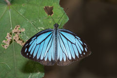 Common Wanderer make butterfly Royalty Free Stock Photo