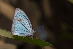 Common Wanderer make butterfly Royalty Free Stock Photos