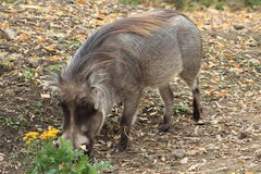 Common warthog Stock Photos