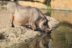 Common warthog Royalty Free Stock Photography