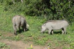 Common Warthog, Addo Elephant National Park Stock Image