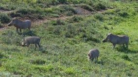 Common Warthog, Addo Elephant National Park Royalty Free Stock Photos