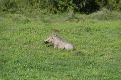 Common Warthog, Addo Elephant National Park Stock Photos