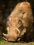 Common warthog Stock Images