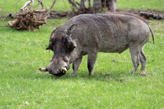 Common Warthog Boar Royalty Free Stock Images