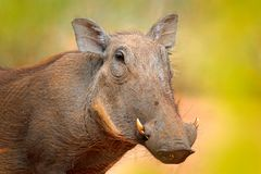 Common warthog, brown wild pig with tusk. Close-up detail of animal in nature habitat. Wildlife nature on African Safari, Kruger. National Park, South Africa stock photo