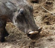 Common warthog close Royalty Free Stock Images