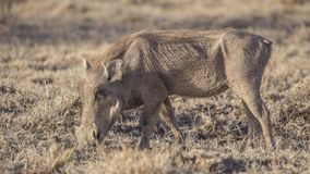 Common Warthog Digging Earth. Common Warthog, Phacochoerus africanus, is digging soil to find roots in Awash National Park, Ethiopia stock images