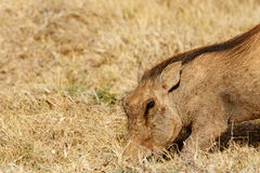 Common warthog digging in the ground Royalty Free Stock Photography