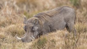 Common Warthog Digging Soil. Common Warthog, Phacochoerus africanus, is digging soil to find roots in Awash National Park, Ethiopia royalty free stock photo