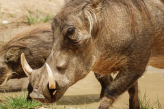 Common warthog eating in the grass Royalty Free Stock Images
