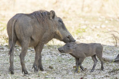 COMMON WARTHOG female and cub in savanna encountered a hot Royalty Free Stock Photos