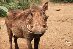 Common warthog, front view Royalty Free Stock Photos