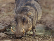 Common Warthog Grazing Royalty Free Stock Images