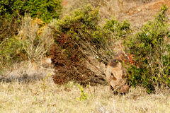 Common warthog hiding between the bushes Stock Photos