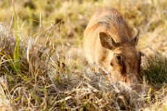 Common warthog so into his grass. In the field Stock Photo