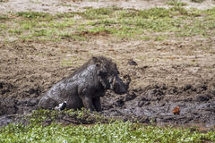 Free Common Warthog In Kruger National Park, South Africa Stock Image - 72632431