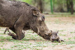 Common warthog and its baby in Kruger National park, South Africa Royalty Free Stock Images