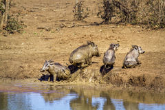 Common warthog in Kruger National park, South Africa Royalty Free Stock Images