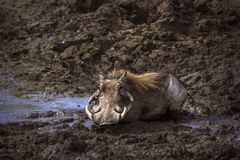 Common warthog in Kruger National park, South Africa. Specie Royalty Free Stock Images