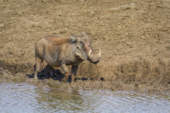 Common warthog in Kruger National park, South Africa. Specie Phacochoerus africanus family of Suidae Stock Photo