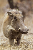 Common warthog in Kruger National park Royalty Free Stock Photos