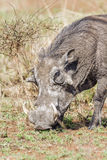 Common warthog in Kruger National park Stock Photo