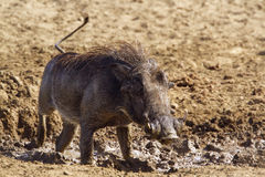 Common warthog in Kruger National park Stock Photography