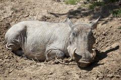 Common Warthog Stock Photos