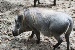Common warthog, Phacochoerus africanus. Close up of in common warthog Stock Photo