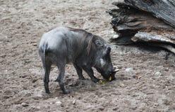 Common warthog, Phacochoerus africanus. Close up of in common warthog Royalty Free Stock Image