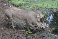 Common warthog, Phacochoerus africanus. Close up of in common warthog Stock Photos