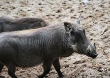 Common warthog, Phacochoerus africanus. Close up of in common warthog Royalty Free Stock Photos