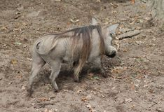 Common warthog, Phacochoerus africanus. Close up of in common warthog Royalty Free Stock Images