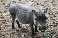 Common warthog, Phacochoerus africanus. Close up of in common warthog Stock Photography