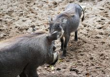 Common warthog, Phacochoerus africanus. Close up of in common warthog Royalty Free Stock Image