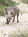 Common Warthog Phacochoerus africanus Royalty Free Stock Photos