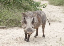 Common Warthog Phacochoerus africanus Stock Photos