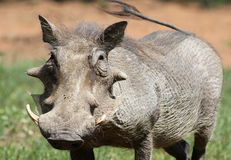 Common Warthog, Phacochoerus africanus, at Marakele National Par Stock Photography