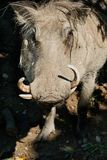 Common Warthog - Phacochoerus africanus. Native of sub-Saharan Africa, a close up of a captive Common Warthog at the zoo. Toronto, Ontario, Canada Stock Photography