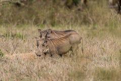 Common Warthog - Phacochoerus africanus. Warthog on the plains of Kenya Stock Photo