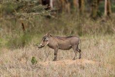 Common Warthog - Phacochoerus africanus. Warthog on the plains of Kenya Stock Photography