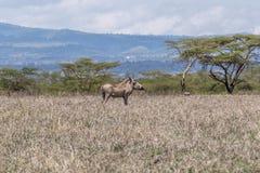 Common Warthog - Phacochoerus africanus. Warthog on the plains of Kenya Royalty Free Stock Photos