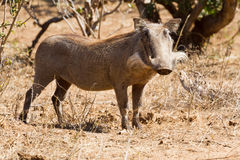 Warthog Pose Royalty Free Stock Photography