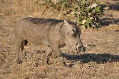 Common warthog (Phacochoerus africanus) walking Stock Photo