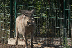 Common warthog (Phacochoerus africanus). Stock Photography